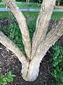 IMG 5292 Heptacodium miconioides Rehder.jpg