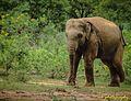 INDIAN elephant.jpg