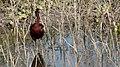 Ibis Cara Oscura - panoramio.jpg
