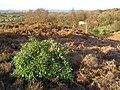 Ibsley Common, south of Mockbeggar, New Forest - geograph.org.uk - 315168.jpg