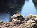Iceland Birds 4324.JPG