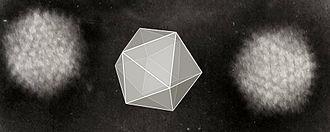 Orders of magnitude (volume) - Electron micrograph of icosahedral adenovirus