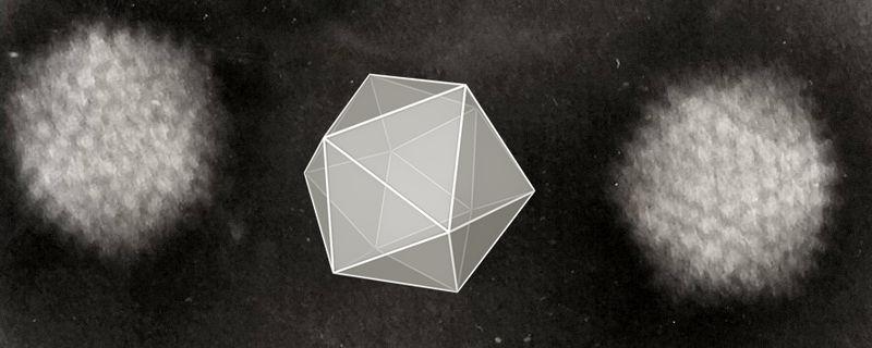 File:Icosahedral Adenoviruses.jpg