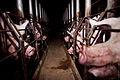 Igualdad Animal - Investigación Granjas Cerdos Toledo - 15-06-2010 - 3 (7138404403).jpg