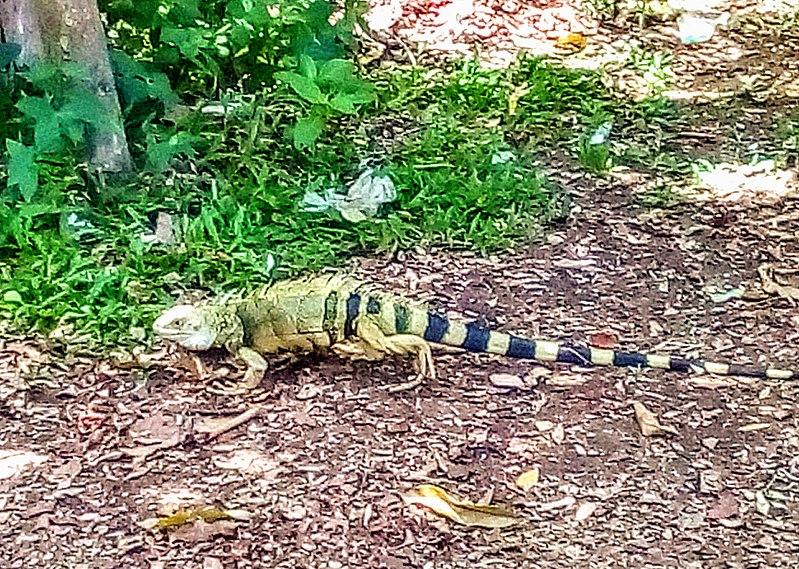File:Iguana COLPILAR.jpg