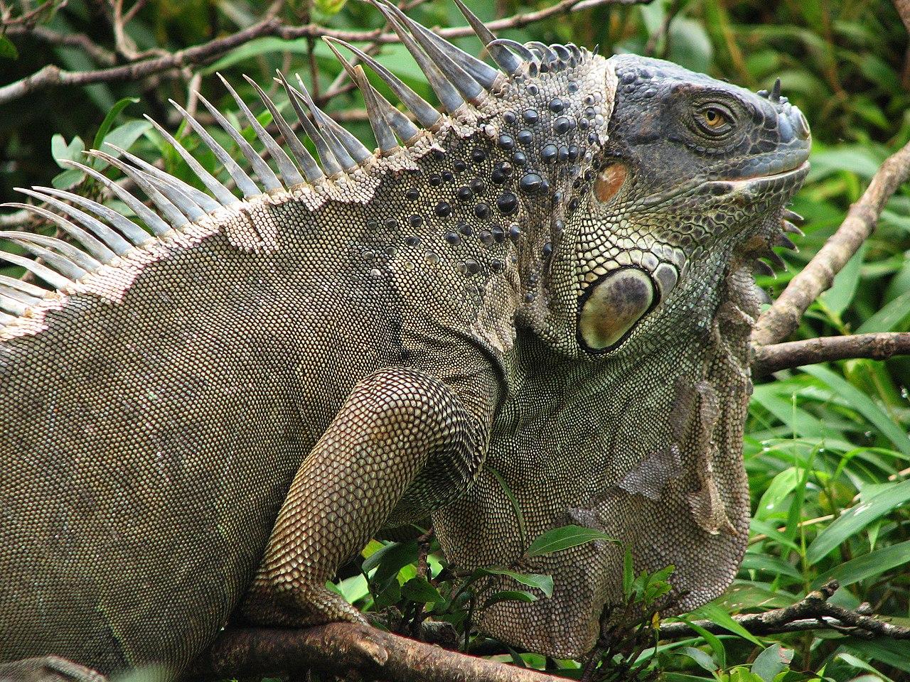 file iguana costa rica 2816px jpg wikimedia commons