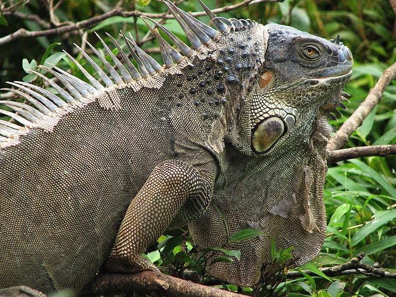 File:Iguana Costa Rica 2816px.jpg