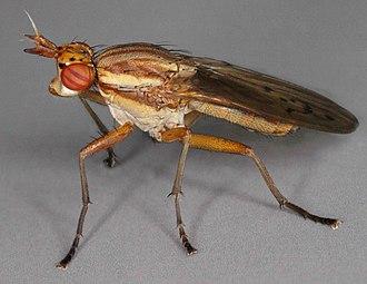 Ilione (fly) - Ilione albiseta