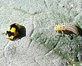 Illeis galbula on zucchini leaf 1.jpg
