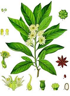 Illiciaceae family of plants