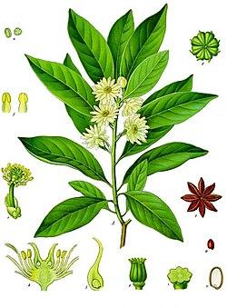 Illicium anisatum - Köhler–s Medizinal-Pflanzen-075.jpg