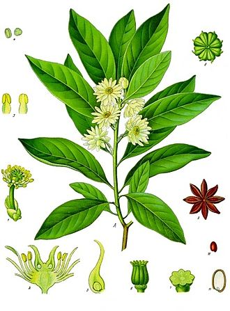 Basal angiosperms - Japanese star anise (Illicium anisatum), from the Austrobaileyales
