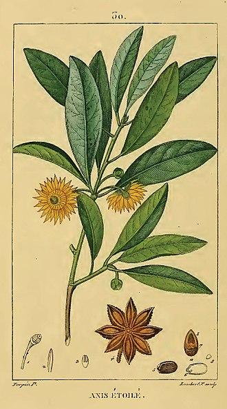 Illicium verum - Plate from François-Pierre Chaumeton's 1833 Flore Medicale