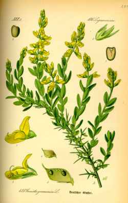 Illustration Genista germanica0.jpg