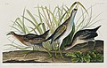 Illustration from Birds of America (1827) by John James Audubon, digitally enhanced by rawpixel-com 233.jpg