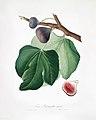 Illustration from Pomona Italiana Giorgio Gallesio by rawpixel00028.jpg
