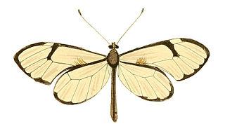 <i>Greta diaphanus</i> species of insect