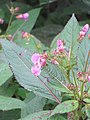 Impatiens sulcata - Gigantic Himalayan Balsam on way from Gangria to Hemkund at Valley of Flowers National Park - during LGFC - VOF 2019 (3).jpg