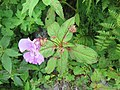 Impatiens sulcata - Gigantic Himalayan Balsam on way from Gangria to Valley of Flowers National Park - during LGFC - VOF 2019 (14).jpg