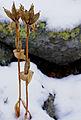 In snow (2977300431).jpg