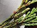 Incense Cedar Rust, Gymnosporangium libocedri (16830003900).jpg