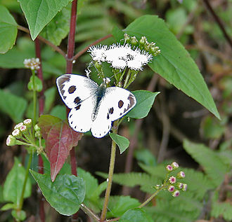 Chromolaena odorata - Indian cabbage white (Pieris canidia) on C. odorata at Samsing in Darjeeling district of  West Bengal, India.