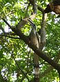 Indian Grey Hornbill (Ocyceros birostris) in Pune 8885.jpg