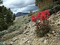 Indian Paintbrush and Red Mountain (19790862690).jpg