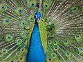 Indian Peafowl Pavo cristatus (7116166239).jpg