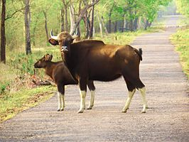 Indian gaur @taddoba.jpg