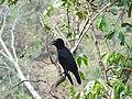 Indian jungle crow - Corvus macrorhynchos.jpg
