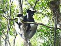Indri Perinet Madagascar - panoramio.jpg