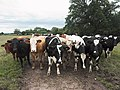 Inquisitive cows - geograph.org.uk - 481102.jpg