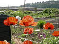 Interbay P-Patch poppies 02.jpg
