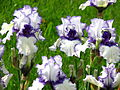 Iris 'Orinoco Flow' 03.JPG