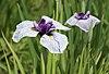 Iris ensata Thunb.jpg