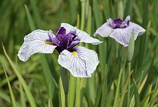 species of plant, Japanese iris