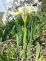 Iris humilis subsp. arenaria sl3.jpg