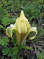Iris pumila sl1.jpg