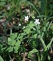 Isopyrum thalictroides 2.jpg