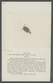 Itea riparia - - Print - Iconographia Zoologica - Special Collections University of Amsterdam - UBAINV0274 098 08 0016.tif