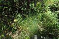J20150724-0004—Calamagrostis nutkaensis—RPBG (20038192945).jpg