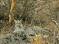 JAWAI BERA LEOPARD.2.jpg