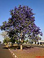 Jacarandá Mimoso(Jacaranda mimosifolia) na entrada da cidade de Jardinópolis - panoramio.jpg