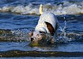 Jack Russell Terrier - Eddi - panoramio (1).jpg