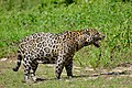"Jaguar (Panthera onca) frustrated male in ""flehmen"" attitude ... No mating for now !!! (27806801562).jpg"