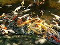 Japanese Fish in Pond 2.jpg
