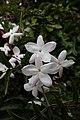 Jasminum polyanthum kz4.jpg