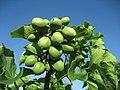 Jatropha curcas - the biofuel plant (4324561945).jpg