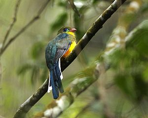 Gunung Gede Pangrango National Park - The Javan trogon found in the national park, is an endangered species endemic to West Java